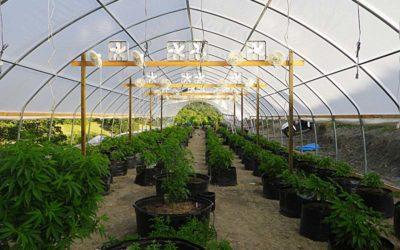 Il nuovo business: coltivare la canapa